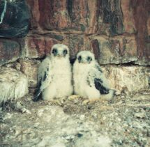 Lanner Falcons breeding in the Palmiet. Photo Clive Read
